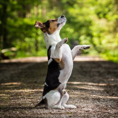 Dog jack russel terrier
