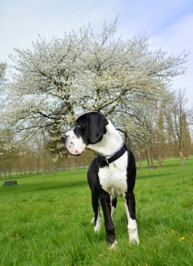Young Great Dane or German Mastiff