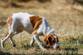Photo Brittany spaniel, young hunting dog sniffing