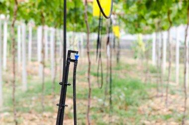 Sprinkler watering the vines