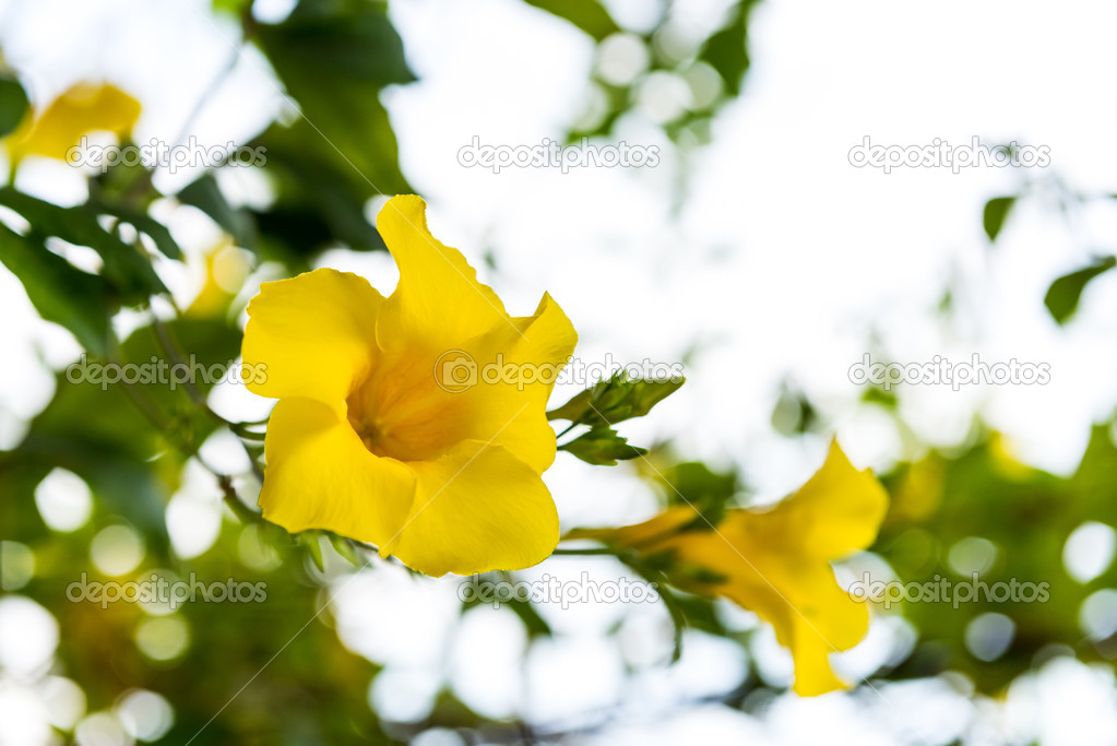 Yellow flowers in the tropics.