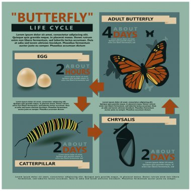 Butterfly's life cycle