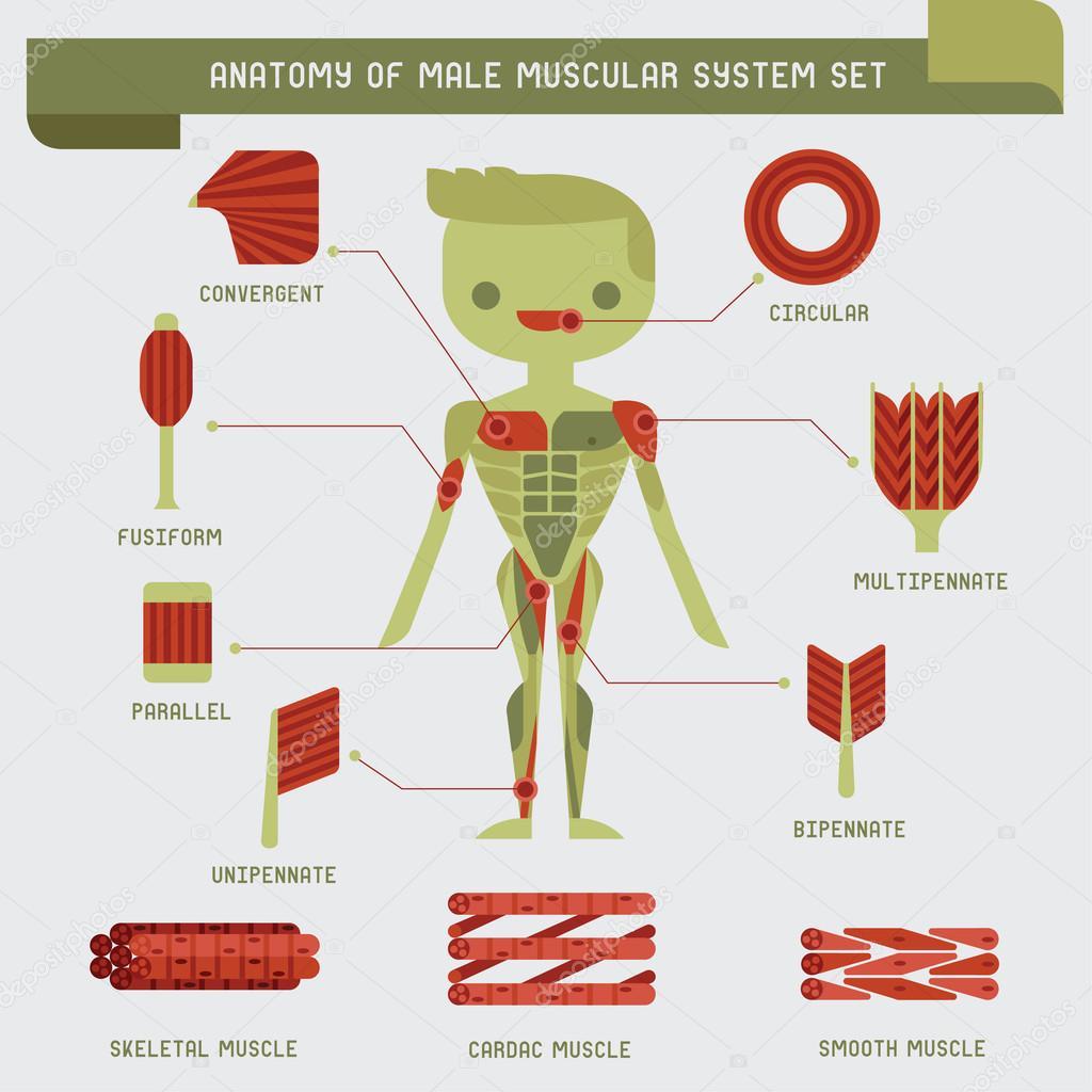 anatomía de sistema muscular masculino — Vector de stock © kninwong ...