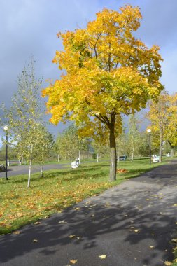 Autumn maple after the rain