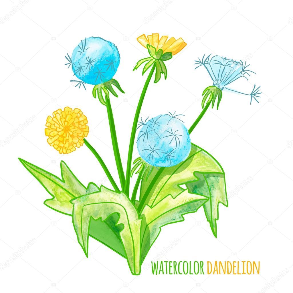 Vector illustration. watercolor dandelions.