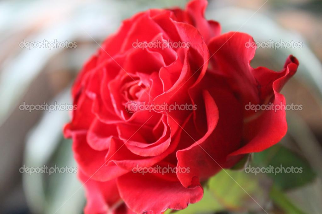Belle Fleur Une Grande Rose Rouge Symbole De L Amour Avec Ses