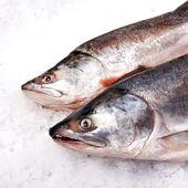losos obecný