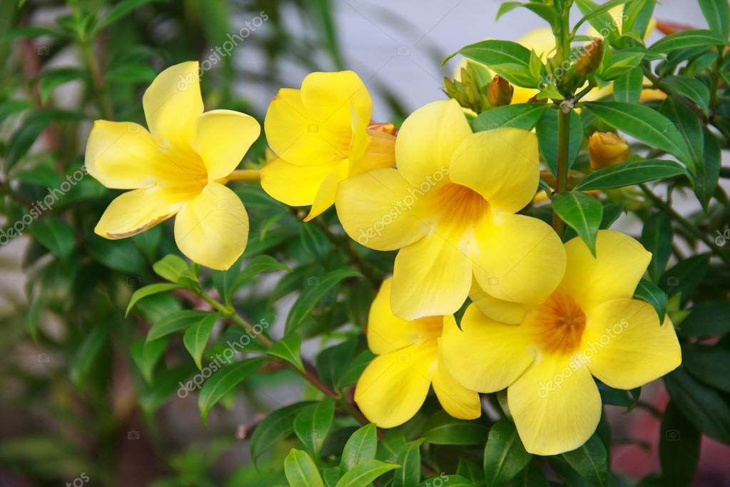 Allamanda or golden trumpet beautiful yellow flower golden allamanda or golden trumpet beautiful yellow flower golden trumpet vine photo by bunroong mightylinksfo