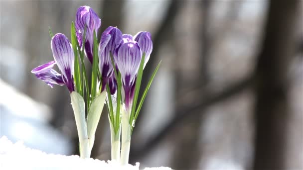 First crocus,Flowers-crocuses,spring crocus