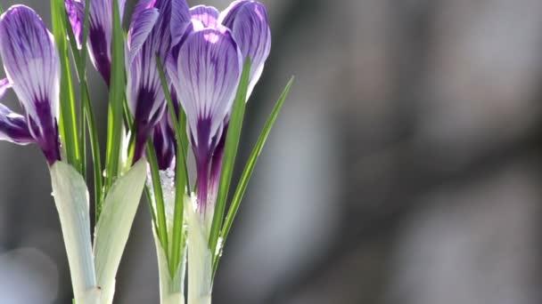 krásný jarní květiny krokusy