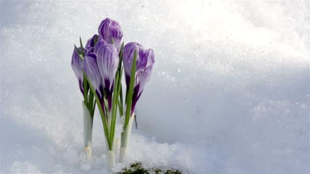 Beautiful Spring Flowers-crocuses