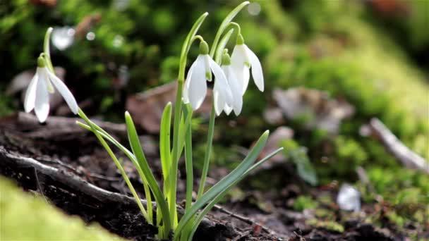 krásný jarní květiny sněženka