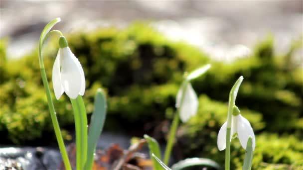 Beautiful spring flowers-snowdrop