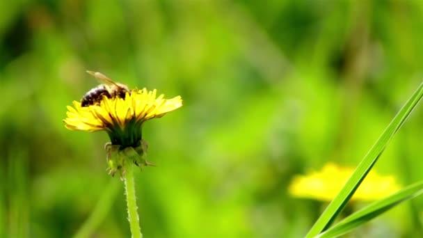 méhek gyűjtenek nektár pitypang