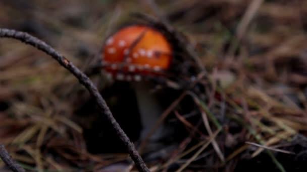 gomba az erdőben, a Légyölő galóca, gomba