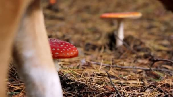houby v lese, Muchomůrka houby