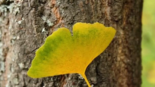 foglie dautunno foglia di biloba del ginkgo (primo piano)