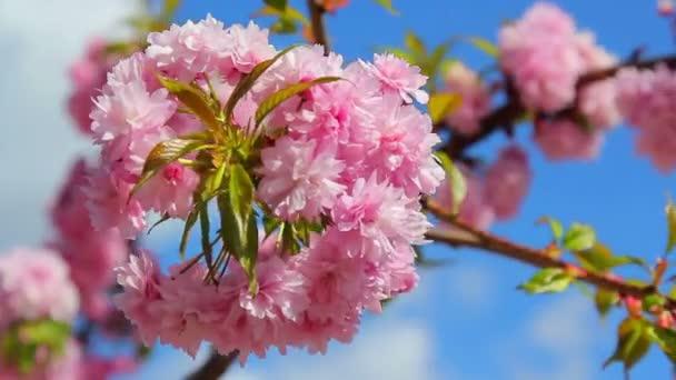 snítka sakura květů v jaro, jaro třešňový květ