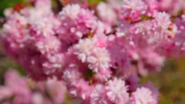 tavaszi, tavaszi cseresznyevirág, sakura virágokat a szál