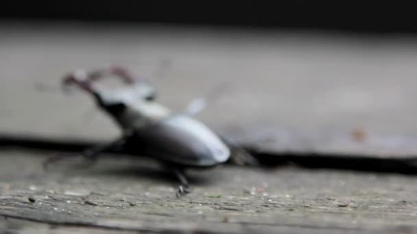 a vadon élő rovarok szarvas beetle.beetle szarvas