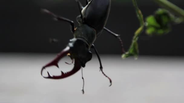 jelen hmyzu jelena beetle.beetle v přírodě