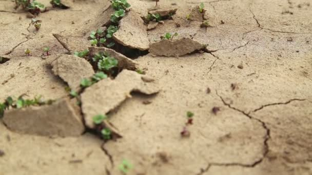 Dry cracked soil during a drought, Plants make their way during a drought