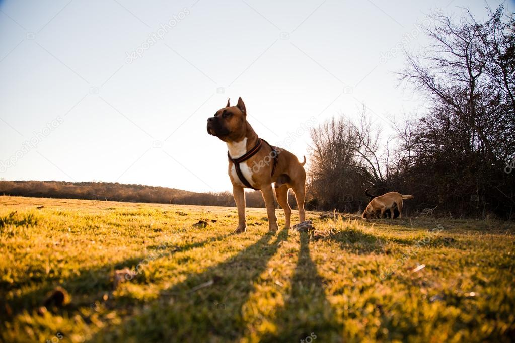 Starke Hund Gehen Gratis Auf Wiese Stockfoto Microlite 42049381