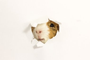 Guinea pig looks through the hole in the paper.