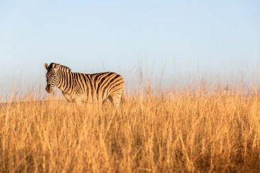 "Картина, постер, плакат, фотообои ""Зебра животных дикой природы"", артикул 47598671"
