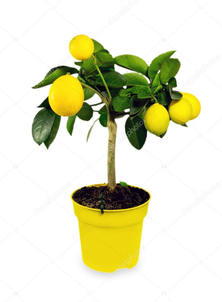 Lemon tree.Isolated.