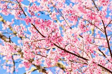 Thai sakura in winter