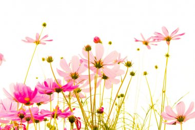 Cosmos flower filed for background