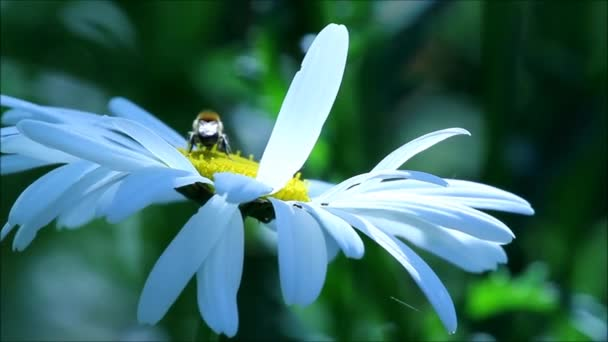 Daisy flowers and insects