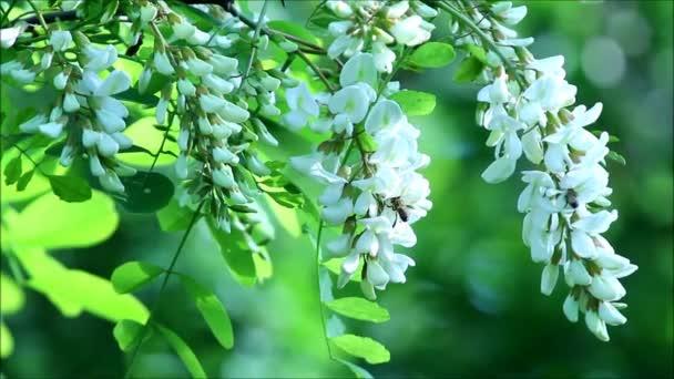svatojánský strom květy s včely
