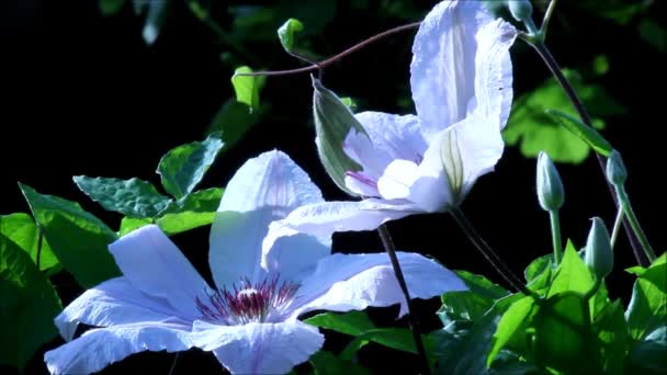 Clematis virágok a rovarok
