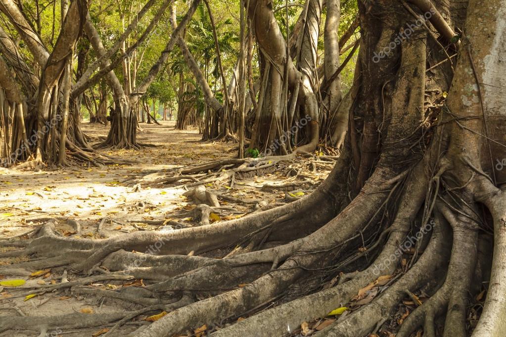Wild banyan roots.