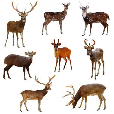 Collection of deer.