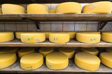 Cheese maturing on the shelves