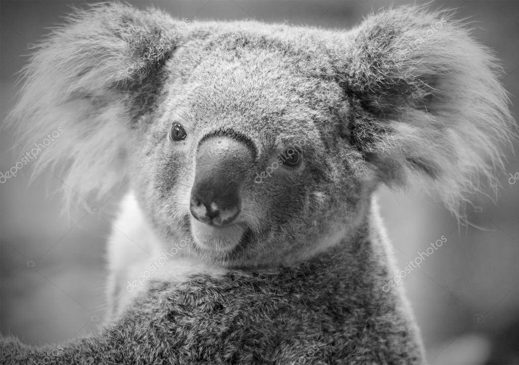 Australian koala bear ,black and white tone