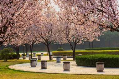 Cherry Blossom Path through a Beautiful Landscape Garden