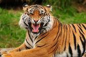 Photo Roaring tiger