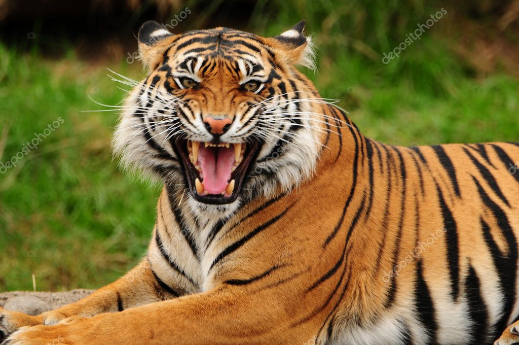 roaring tiger stock photo neelsky 37289893