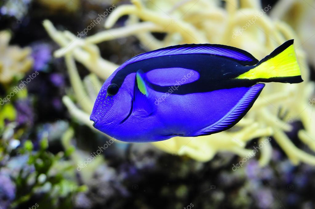 Regal Tang fish