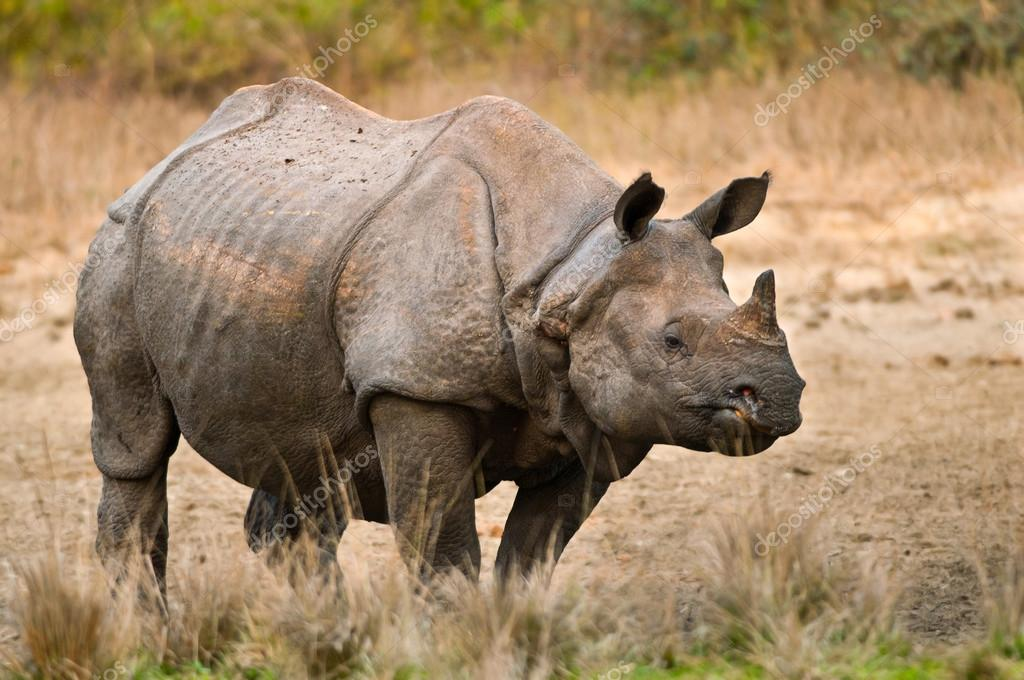 javan rhino facts range habitat diet population pictures - 700×465