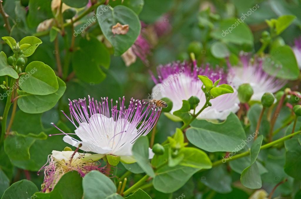 Flowering caper plant (Capparis Spinosa)