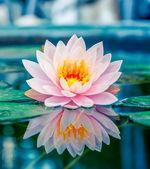 Gyönyörű rózsaszín lótuszvirág, vízinövény tükörképpel a tóban