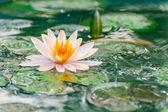 Krásný růžový leknín nebo lotus květina v rybníku s deštěm dro