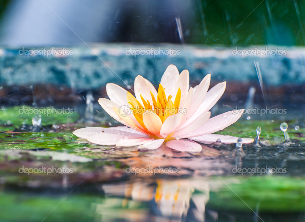 美丽的粉红色睡莲或莲花花与雨 Dro 池塘里 图库照片 169 Stnazkul#40552277