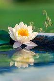 Krásné žluté lekníny nebo lotus květina v rybníku