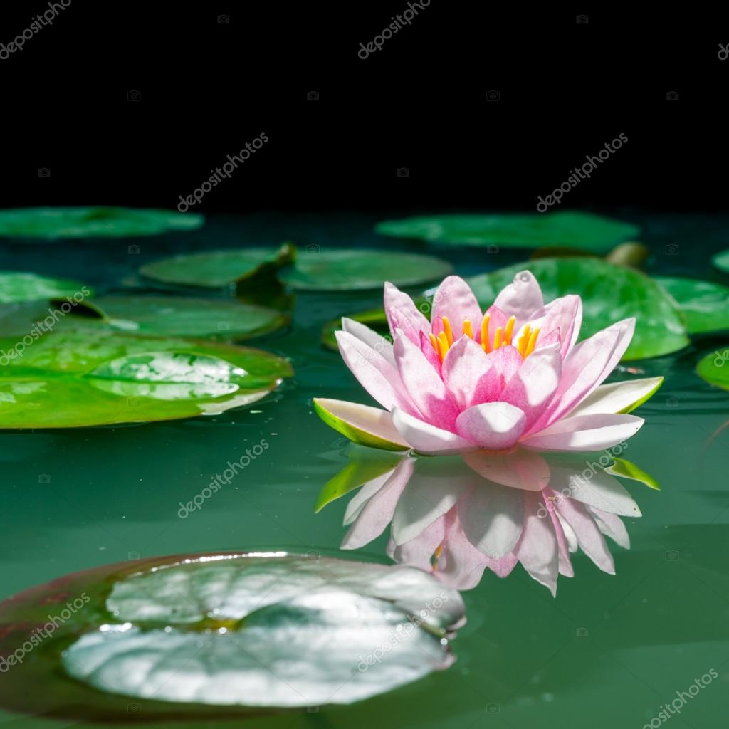 A Beautiful Pink Waterlily Or Lotus Flower In Pond Stock Photo